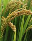 成熟水稻照片