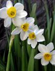 水仙花是否有毒 水仙花有毒吗