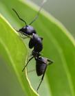 蚂蚁是昆虫吗 蚂蚁属于昆虫吗