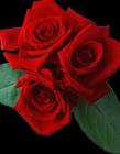 玫瑰花素材图片 唯美玫瑰花素材图片