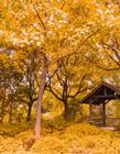 秋天叶子为什么会变黄 秋天叶子变黄的原因