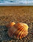 海滩贝壳图片唯美意境