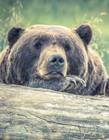 棕熊图片大全
