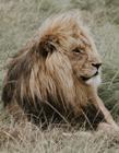 霸气的雄狮图片大全