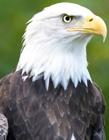 美国国鸟白头海雕图片 象征美国的鸟果然霸气十足