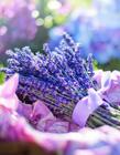 薰衣草花束图片 弥漫着淡淡的香味