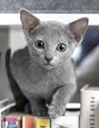 蓝猫Auri图片 满满的灵气感觉就像从动漫里走出来的
