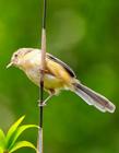 柳莺鸟图片 树枝上的柳莺鸟美丽极了