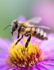蜜蜂在花中采蜜的图片 勤劳的蜜蜂人人赞