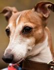 惠比特犬图片 大大的眼睛长长的嘴巴非常的可爱