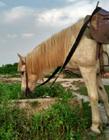 单匹骏马照片 白色的骏马温顺的站在草地上
