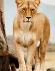 母狮子图片 母狮子为什么没有鬃毛
