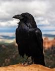 黑乌鸦图片大全 乌鸦叫预示什么意思