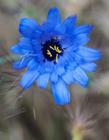 蓝色的矢车菊图片 蓝色矢车菊的花语