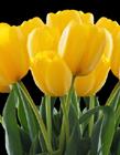 黄郁金香图片大全 黄色郁金香花语是什么