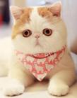 网红萌猫红小胖snoopy图片 红小胖是什么品种