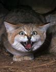 沙丘猫可爱图片 号称世界上最小猫科动物之一