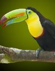 巨嘴鸟吃什么食物 巨嘴鸟喜欢吃什么