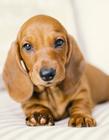 达克斯猎犬图片 号称攻击性最强的犬只