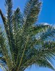 棕树的果实可以吃吗 榈树的果实能吃吗