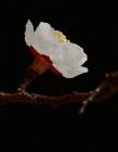 山杏花图片 洁白的花瓣美到极致