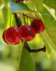 樱桃的功效与作用 樱桃有什么功效作用