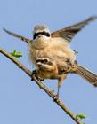 中华攀雀图片 中华攀雀是保护动物吗