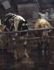 黄牛12小时注水 注水后的黄牛对人有哪些危害