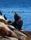 海狮为什么那么聪明 海狮为什么会表演