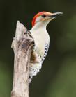 啄木鸟的外形特点 啄木鸟的特点是什么
