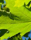 枫叶图片绿色 绿色枫叶寓意什么