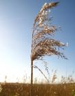 芦苇的花语 芦苇的花语是什么意思