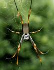 家里有蜘蛛是吉是凶 蜘蛛在家里出现的征兆