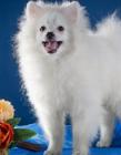 白色斯皮茨犬图片 斯皮茨犬好养吗
