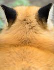 狐狸耳朵图片 狐狸的耳朵像什么