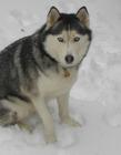 哈士奇照片 西伯利亚雪橇犬图片 哈士奇为什么叫二哈
