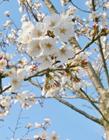 白色樱花照片 白色樱花的花语 白色樱花的寓意