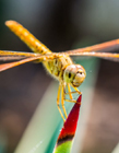 蜻蜓照片 蜻蜓寓意和象征 蜻蜓有什么寓意