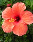 红色蜀葵花图片 红色蜀葵花的花语