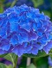 蓝色绣球花图片 蓝色绣球花图片大全 蓝色绣球花花语