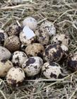 鹌鹑蛋照片 鹌鹑的营养价值及功效