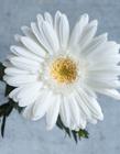 白色非洲菊图片 白色非洲菊代表什么