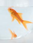 鱼缸里的金鱼图片 金鱼在鱼缸图片大全 鱼缸里漂亮的金鱼