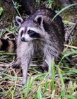 浣熊照片 在中国可以养浣熊吗