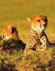 猎豹照片大全 猎豹猫科还是犬科