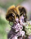 蜜蜂采蜜图片大全大图 蜜蜂是益虫还是害虫 蜜蜂是昆虫吗