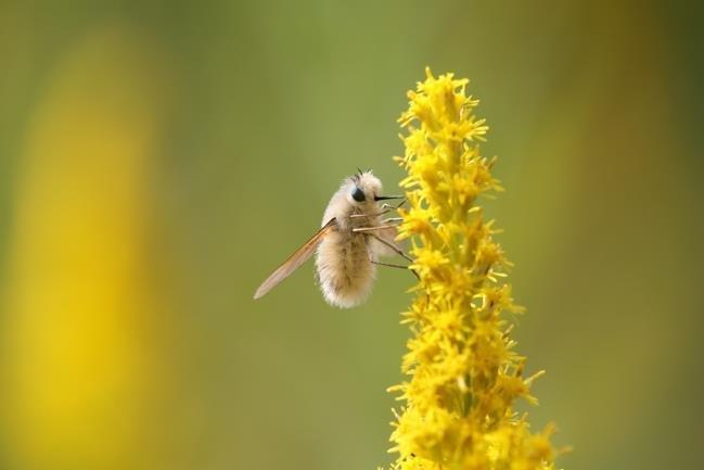 安蜂虻图片