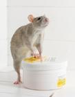 老鼠照片图片大全可爱 真老鼠图片大全