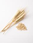 一棵麦子有多少麦穗 一颗麦穗长多少粒麦子 麦穗是麦子吗