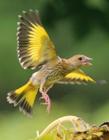 金翅雀照片 金翅雀多少钱一只